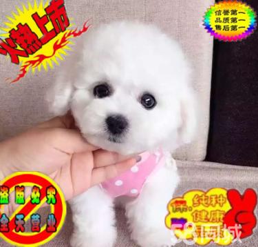 出售韩国血统玩具泰迪犬 茶杯泰迪犬 大眼睛娃娃脸
