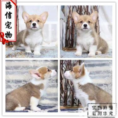 专业养殖小短腿、威尔士柯基幼犬 通脖通缝 品质保障