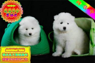 出售純種忠誠天使微笑薩摩耶幼犬 包健康 寵物狗活體