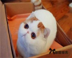 加菲貓 異國短毛貓