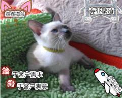 碧藍色的眼睛,漂亮可愛小暹羅貓對外出售