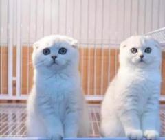 超級粘人—英短藍貓藍白銀漸層折耳貓