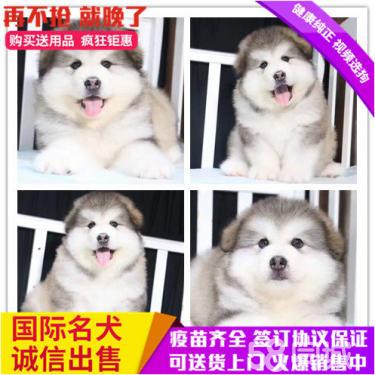 出售贵血统大骨架,聪明帅气阿拉斯?#21451;?#27207;犬宝宝健康