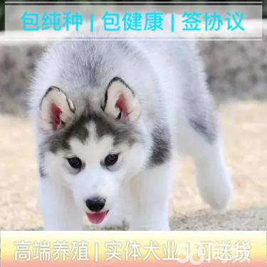 西伯利亚雪橇犬丨高端玩宠丨串子价格请绕路