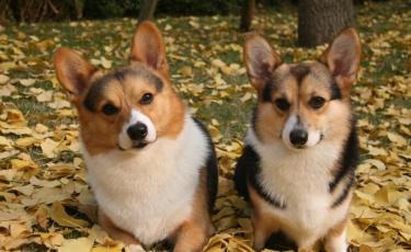 威尔士柯基 短腿冠军犬 两色三色 签协议包健康