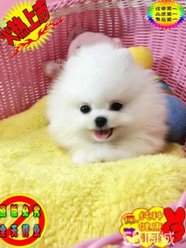 純種哈多利版最小球體博美幼犬活體出售 寵物狗狗