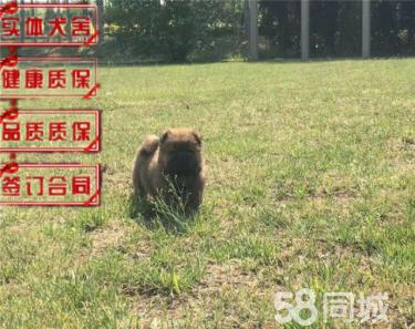 纯种健康松狮犬白色黑色红色松狮购买有保障可签协议