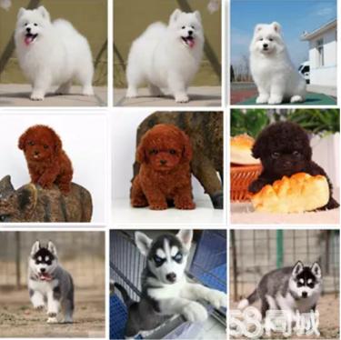 成都9年诚信正规狗场丨出售世界名犬丨什么狗都有