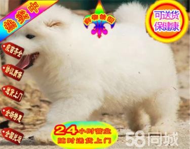 微笑天使薩摩耶寵物狗出售,健康純種,多只可挑選