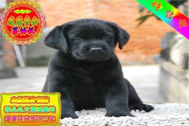 出售纯种的聪明的拉布拉多幼犬品相好 包纯种健康