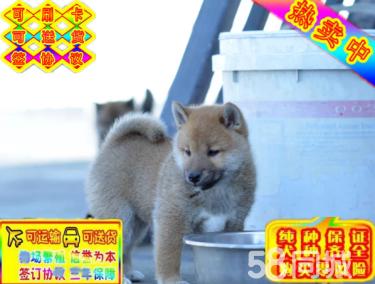 出售高品质柴犬纯种精品日系柴犬疫苗齐全保健康保活