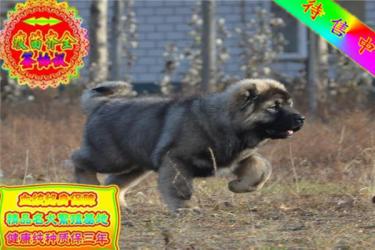 長期繁殖雙血統高加索幼犬 各類純種名犬 包養活簽協