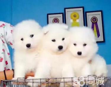 精品薩摩幼犬萌寵狗狗 公母都有 協議出售