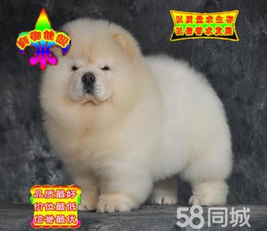 高品質松獅幼犬出售品相好顏色多樣可挑選上門簽協議