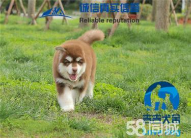 阿拉斯加雪橇犬,巨型熊版灰桃十字,包��N健康�B活