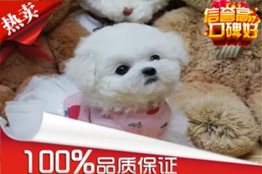 纯种法国卷毛比熊幼犬 签健康协议送用品上门可优惠