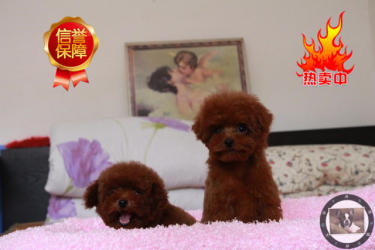 出售纯种泰迪幼犬 赛级品质 健康质保 免费送货