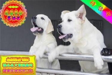 高品质最聪明的拉布拉多犬幼犬 品质有保证