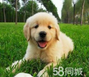 纯种温顺守家金毛幼犬出售 骨架大毛色靓金毛猎犬