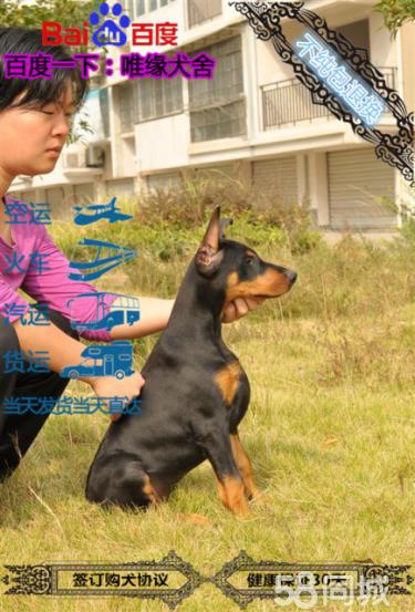 国外引进的国际赛季杜宾犬种犬双血统 证书已办