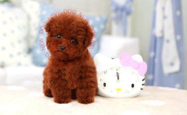 纯种可爱泰迪熊包健康包纯种出售