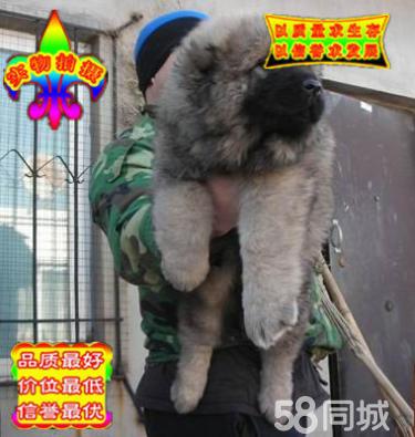 出售高品质赛级直系一熊版高加索幼犬购买签协议保