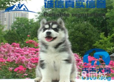 纯种犬舍繁殖哈士奇蓝眼高品质包健康养活