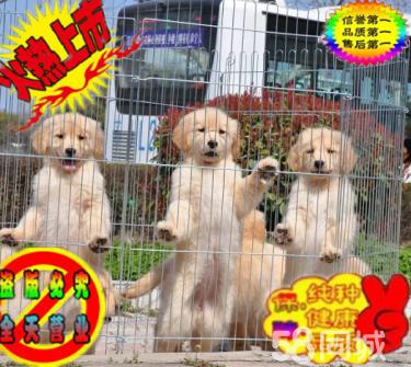 出售金毛导盲犬忠诚金毛幼犬 聪明伶俐 宠物狗活体