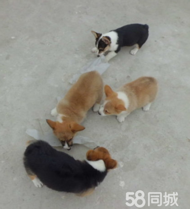 出售两色三色纯种威尔士柯基幼犬色签协议包健康纯种