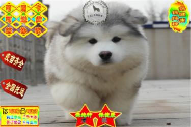 超大骨架巨型阿拉斯加雪橇犬出售,健康血统签协议