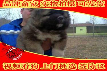 高加索犬幼犬,�俄系 高大威猛��N健康 高加索