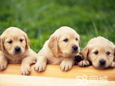 爱Ta,就送Ta心爱的狗狗~金毛。