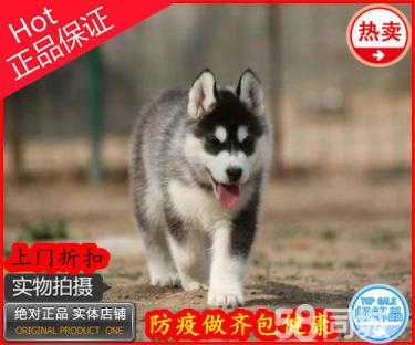 出售純種健康哈士奇小狗 三火藍眼睛哈士奇犬