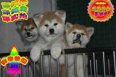 常年出售秋田犬,纯正日?#30331;?#30000;犬尽在金质犬业