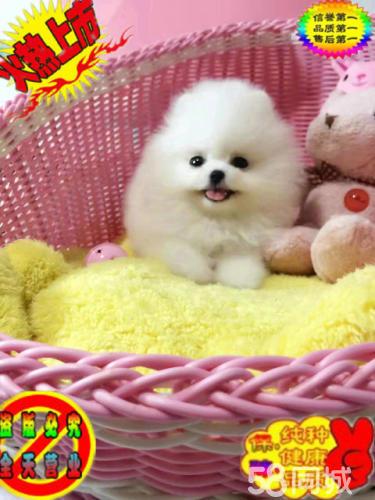 【精品】小精靈 博美犬可愛粘人包健康 可簽協議