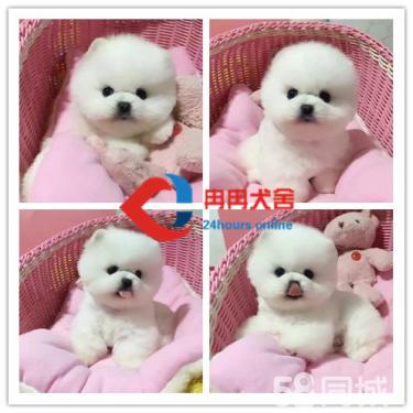 博美犬俊介、白富美高富帅的最佳搭档、你还在等?#35009;? width=