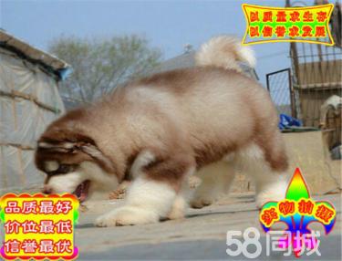 超大骨架巨型阿拉斯加雪橇犬出售,健康血統簽協議