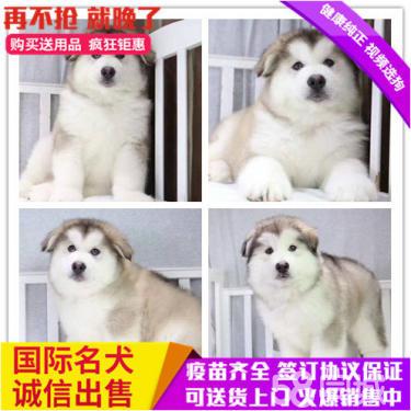 出售純種巨型阿拉斯加犬,疫苗已做,健康保證公母都有