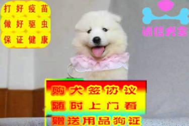 出售薩摩耶幼犬活潑可愛健康保證好品相多只挑選
