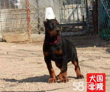 3个月的杜宾犬2500元(公母均有)自己家养殖场
