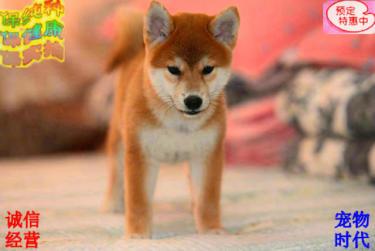 柴犬之家-最靠谱的柴犬繁殖犬舍#终身饲养技术指导