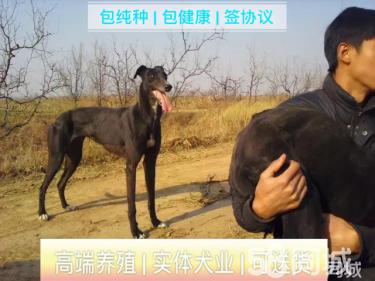 出售格力靈緹惠比特犬細狗二特犬獵兔犬一口起獵犬