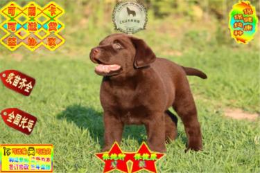 出售纯种拉布拉多犬 高品质赛级拉布拉多 保健康