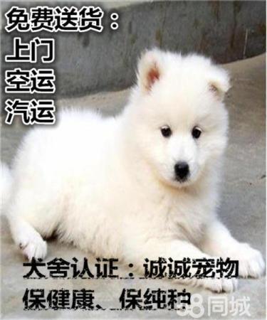 精品薩摩耶幼犬 專業繁殖簽訂質保協議 免費送貨上門