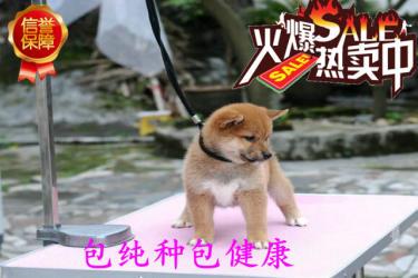 純種柴犬出售 聰明忠誠 品相一流 賽級品質健康