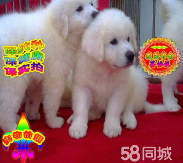 雪兽系赛级大白熊幼犬 骨骼大 毛质好 极品幼犬