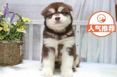 纯种阿拉斯加出售保证最实惠的狗狗 健康第一?。。?!