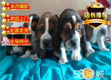 巴吉度幼犬、自家繁殖品質保障完美售后可上門