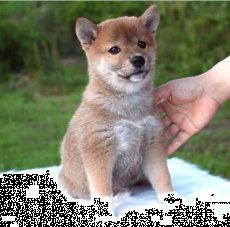 【纯种柴犬幼犬】常年有货―保证血统纯正【血缘清楚】