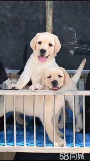 【官方质保】出售纯种(神犬小七)拉布拉多犬活泼可爱